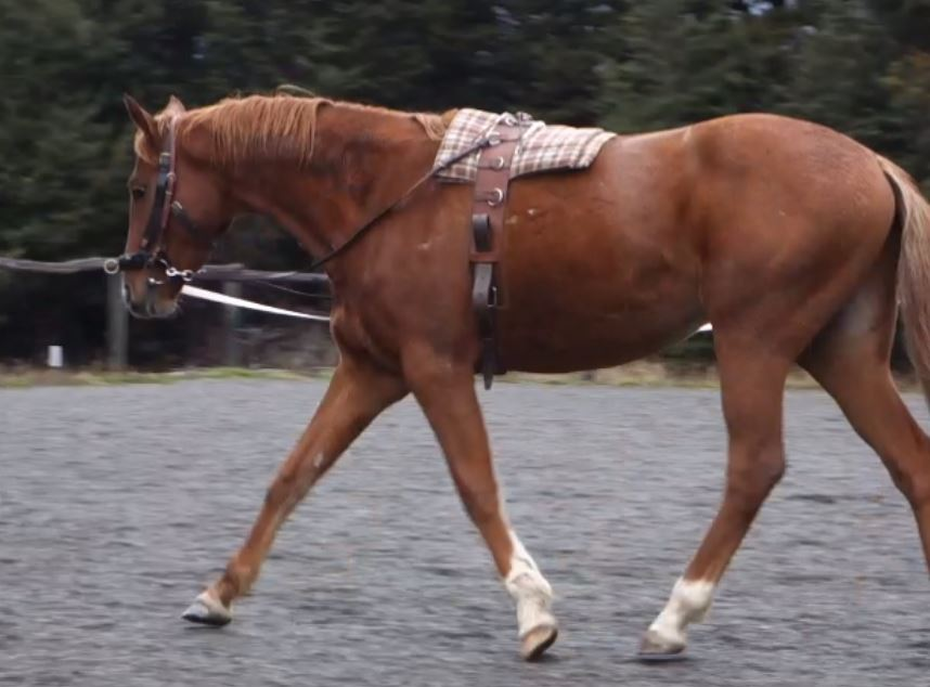 fergal-side-reins-trot-right.jpg
